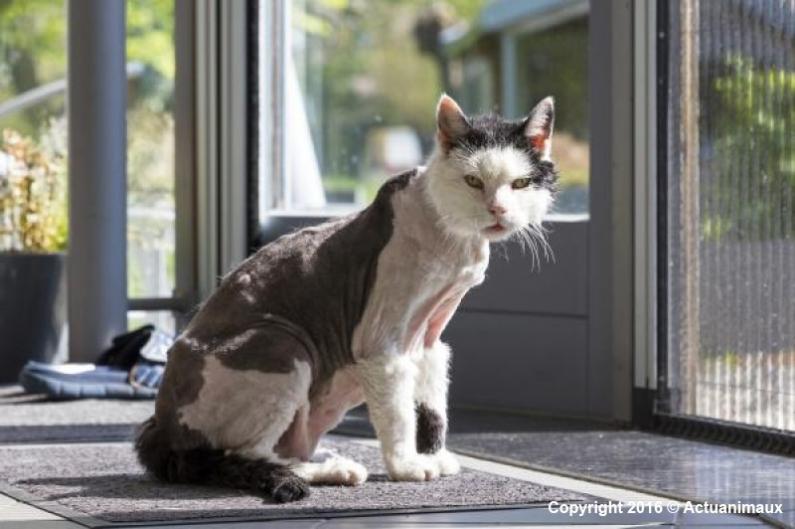 Chat qui se lèche et se gratte beaucoup