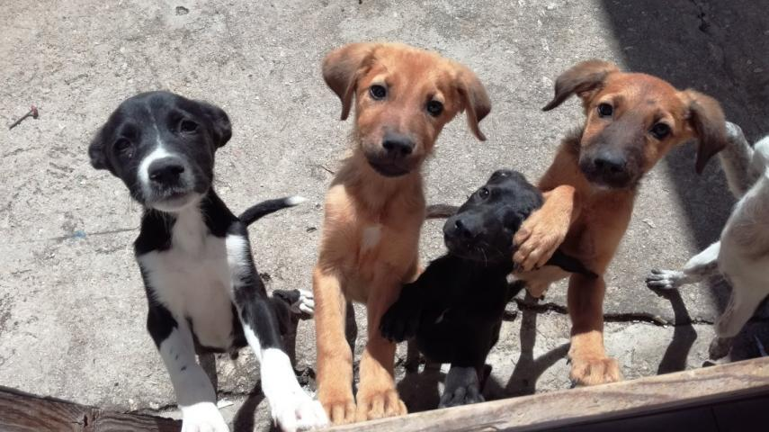 Chiots guadeloupe